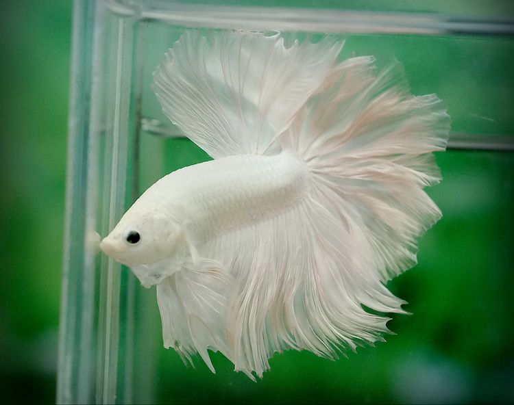 Rose-tail-betta