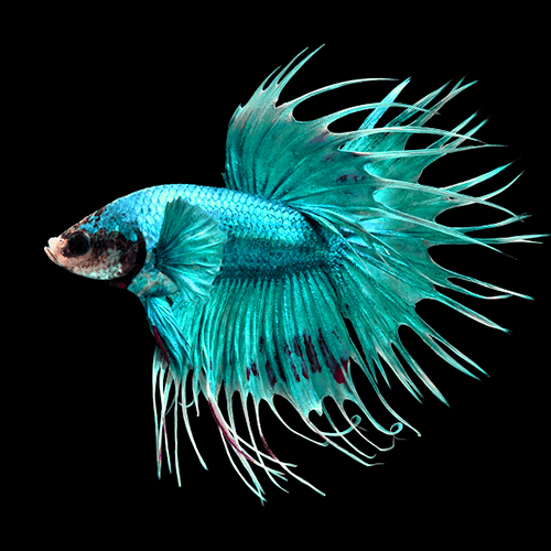 combtail-betta