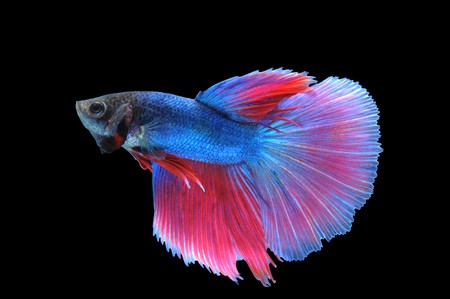 Super Delta tail Betta