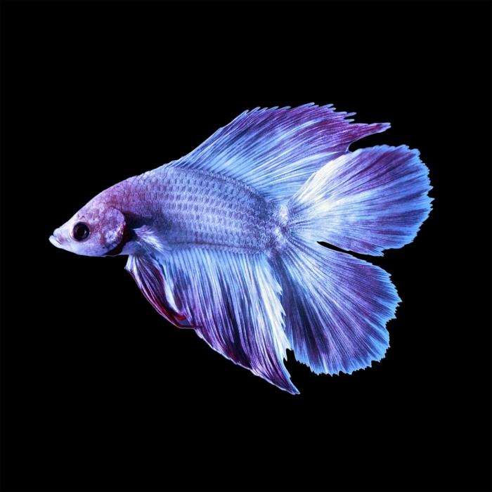 13 Types of Betta Splendens Tails - Fishkeeprr