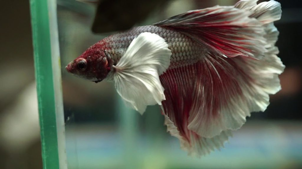 dumbo-elephant-ear-betta
