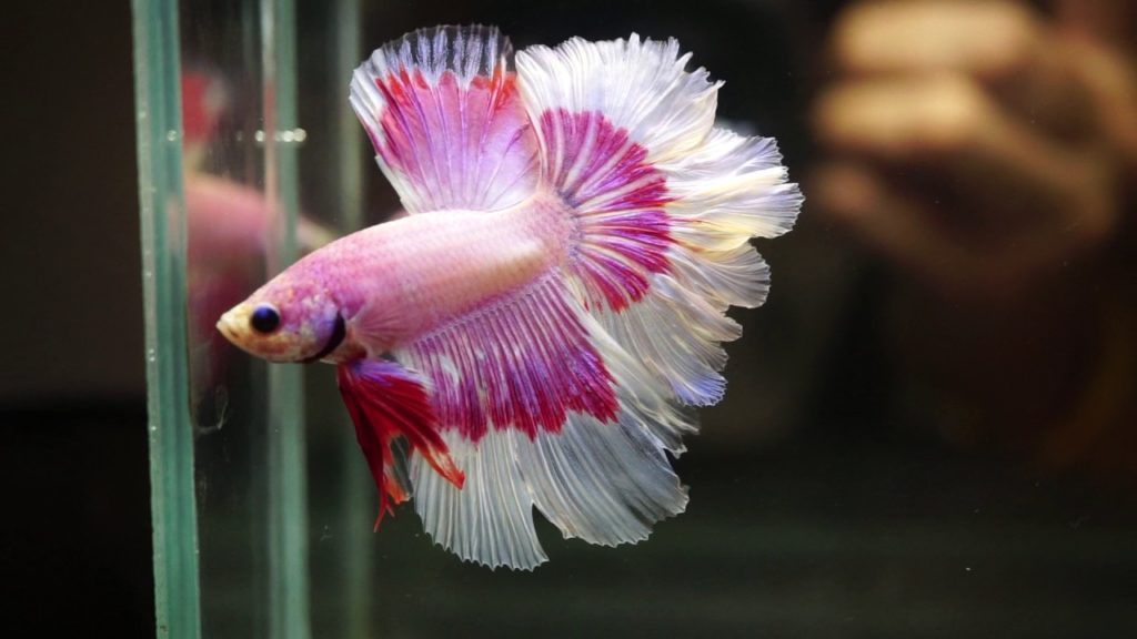 feather-tail-betta