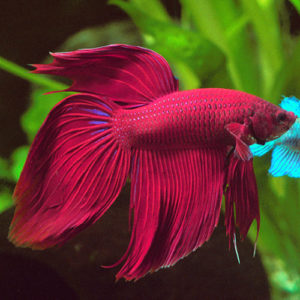 13 Types of Betta Tails