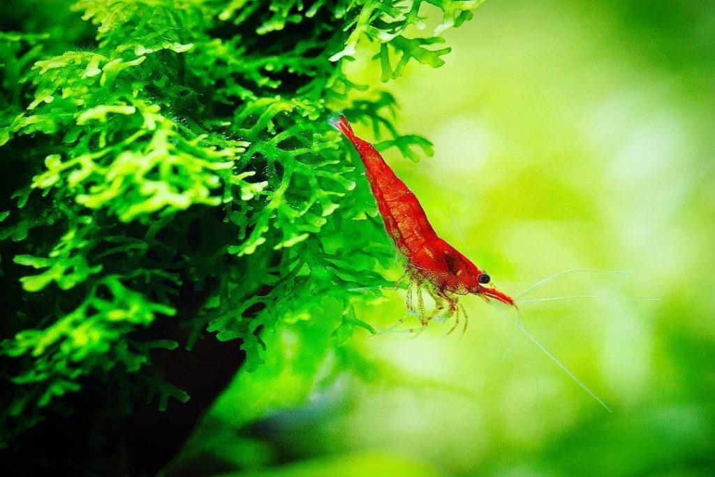 cherry-shrimp-moss
