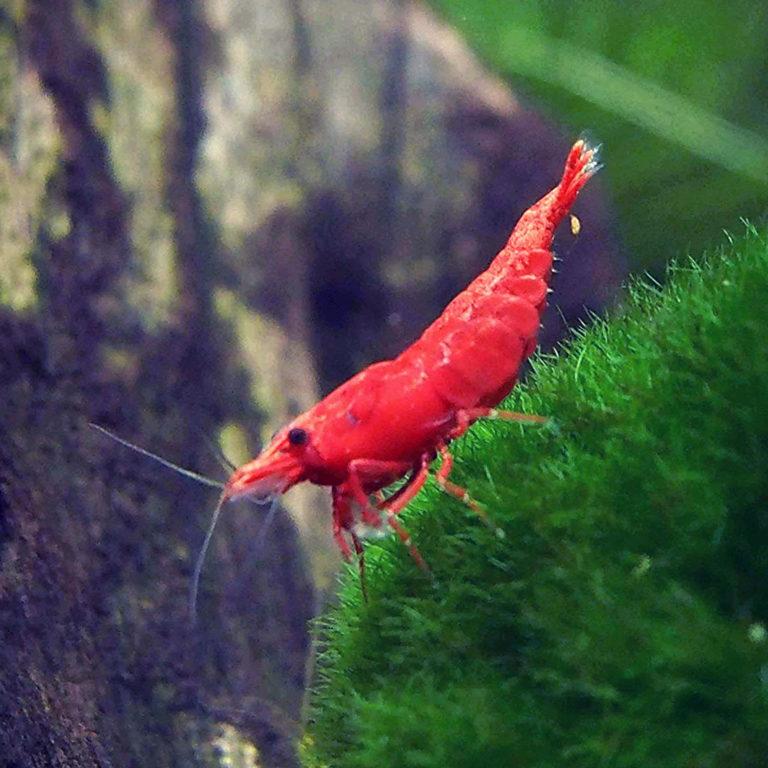 Top Cherry Shrimp Tank Mates