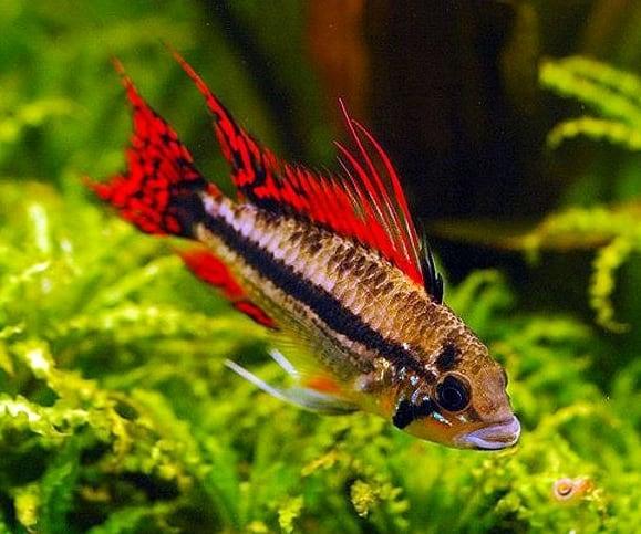 apistogramma-cacatuoides-super-red