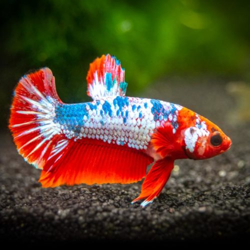 Top 6 Centerpiece Fish for your Aquarium