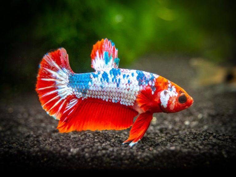 Top 6 Centerpiece Fish for your Aquarium