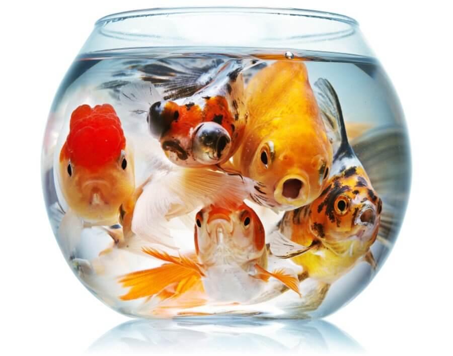 crowded-fish-bowl