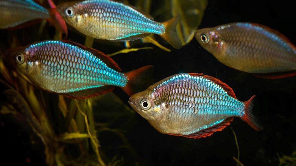 dwarf-neon-rainbowfish