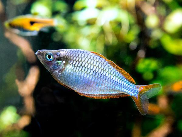 female-Praecox-Rainbowfish
