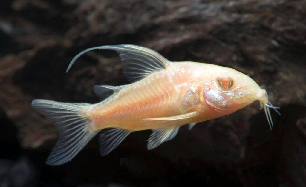 longfin-albino-corydoras