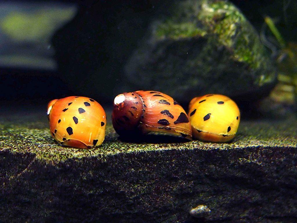 nerite-snail