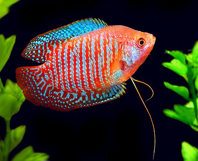striped-dwarf-gourami